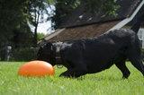Dog Comets Pan-Stars Oranje_